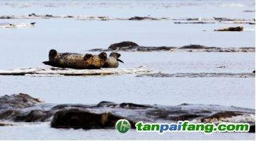 碎冰上的斑海豹(源/中华斑海豹保护地·盘锦田继光主任)