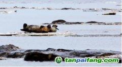 严峻的气候变化是海豹生存重大挑战 | 碎冰上的斑海豹