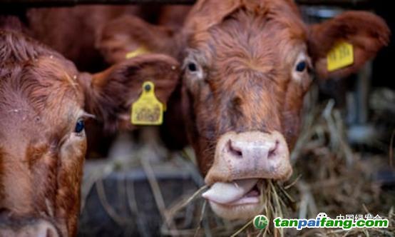 砍伐森林,生产饲料是牛产生二氧化碳排放的主要原因。照片:JensBüttner/ dpa