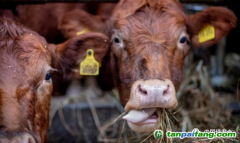 肉的代价:欧洲农场动物碳排放多于汽车